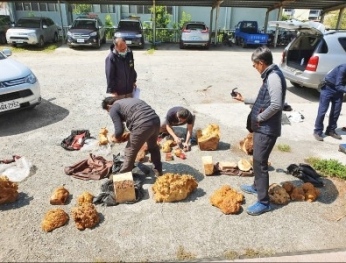 Chuột núi Việt lẻn vào vùng núi phía tây  được thuê thành nhóm đốn gỗ lậu 越南山老鼠竄西部山區 受僱變身盜伐集團